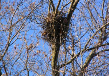 At Home in the Treetops: Spotting Squirrel Nests in the Fall