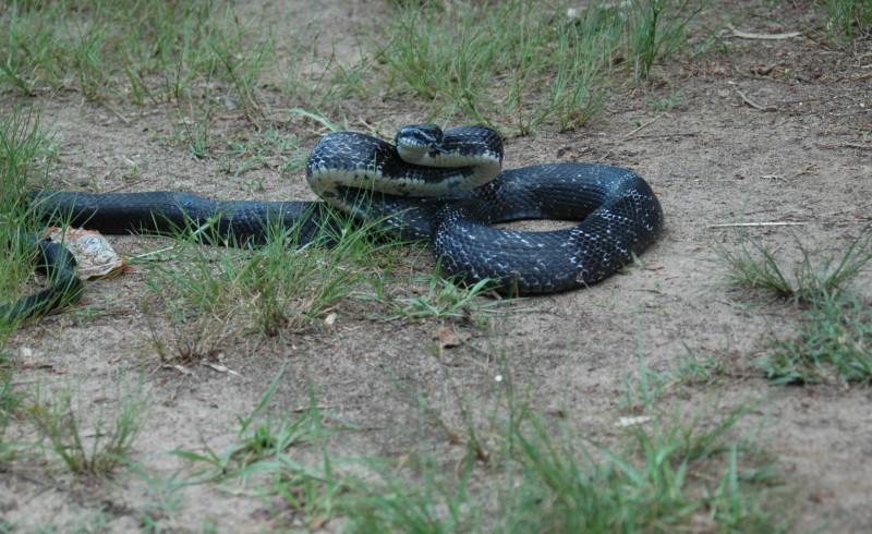 Bell - Black Snake