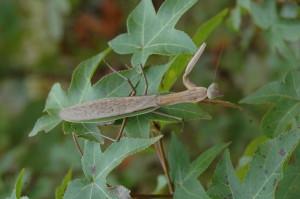 Bell - Praying Mantis