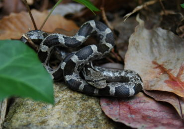 Getting to Know Your Reptiles: The Rat Snake