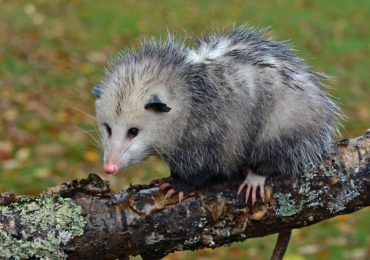 Getting to Know Your Mammals: Opossum