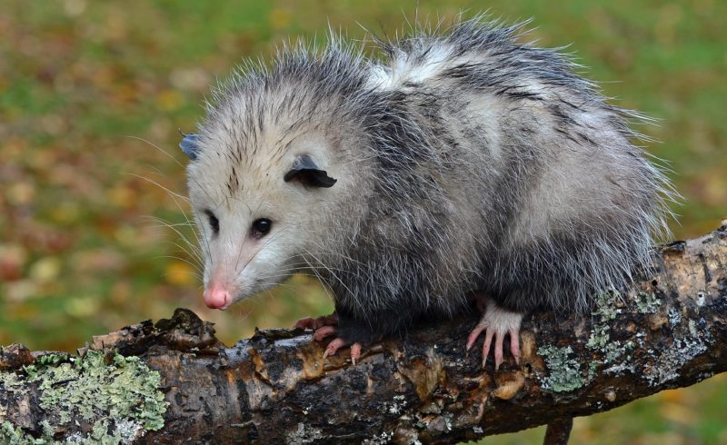 Getting to Know Your Mammals: Opossum |
