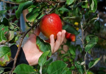Idea for the Weekend: Go Apple Picking!