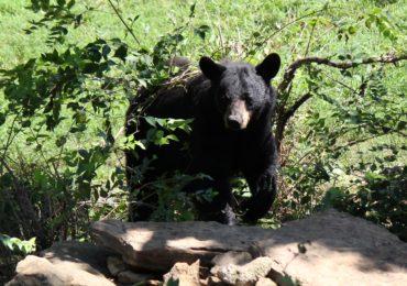 Do Bears Really Hibernate?