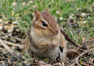 Getting to Know Your Mammals: Chipmunks