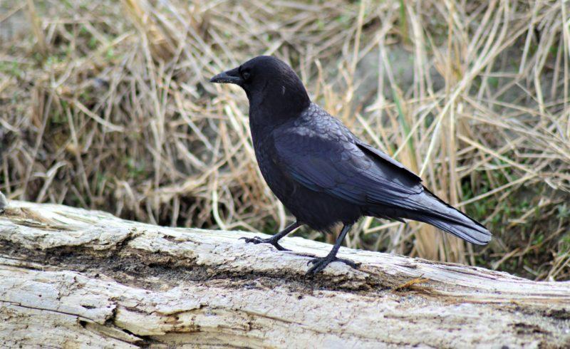crows in field