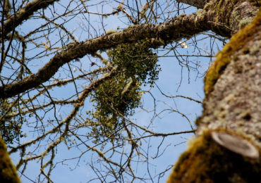 Getting to Know Your Plants: Mistletoe