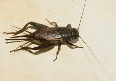Getting to Know Your Insects: Field Cricket