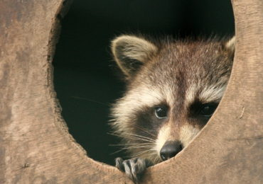 Getting to Know Your Mammals: The Raccoon