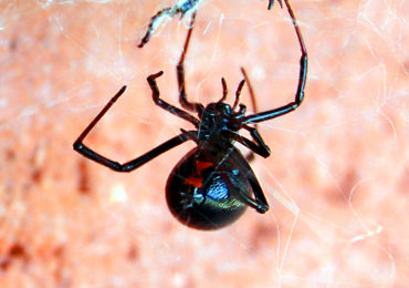 Getting to Know Your Arthropods: The Black Widow Spider