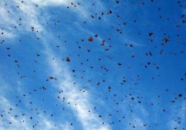 The Amazing Monarch Migration