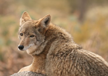 Getting to Know Your Mammals: Coyote