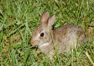 Getting to Know Your Mammals: Eastern Cottontail Rabbit
