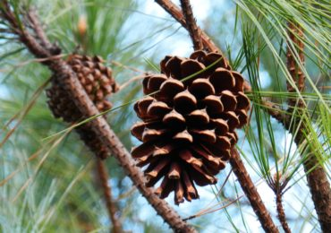 Pine Cones for All Seasons