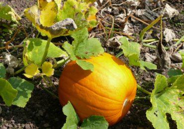 Idea for the Weekend: Go Pumpkin Picking