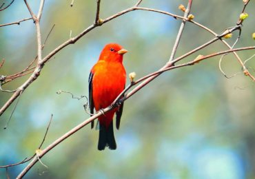 Getting to Know Your Birds: The Scarlet Tanager